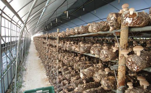 韩国香菇栽培设施是在韩式大棚进行的,这种棚是由当地专业施工